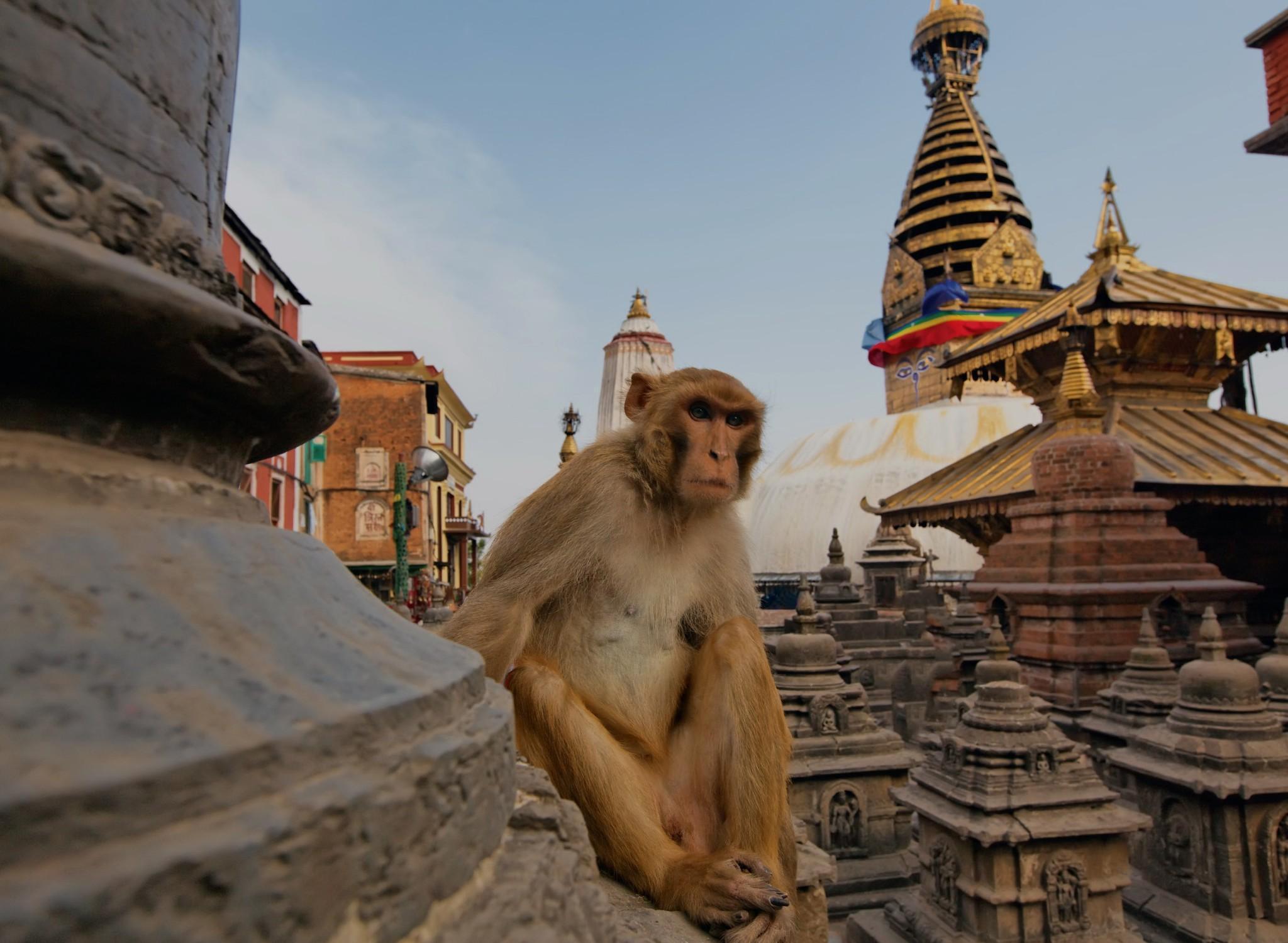Big monkey on swayambhunath stupa kathmandu nepal 1536x2048